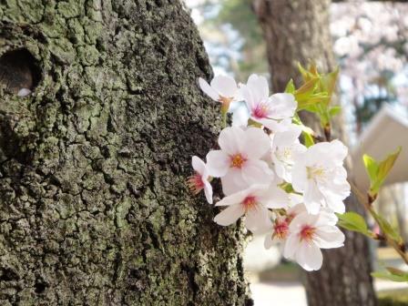 桜19-2