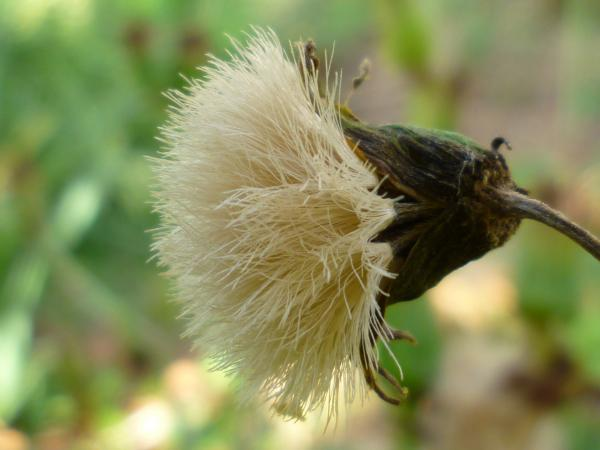 ツワブキ種3