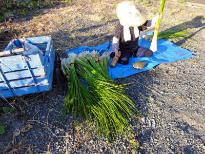 いぐさの収穫08272