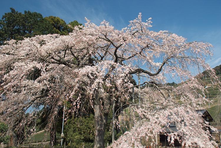 金谷の枝垂れ桜
