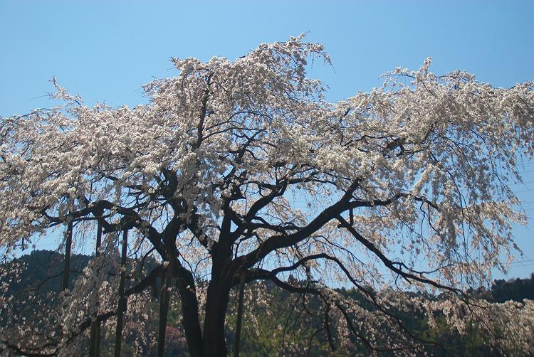 金谷の枝垂れ桜 2
