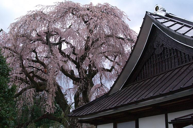 慈雲寺の糸桜(イトザクラ) 其の参