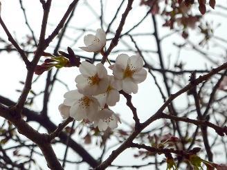 東京で見た桜の花  その場所は・・・