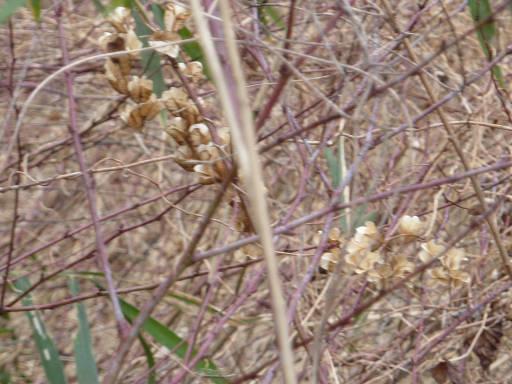 20100220・自然観察会05・オニドコロ