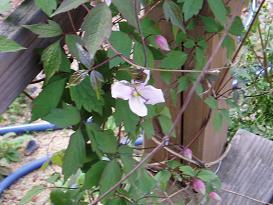 モンタナが咲き始めた