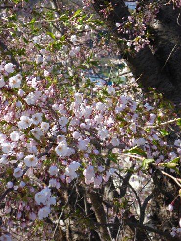 桜5月12日